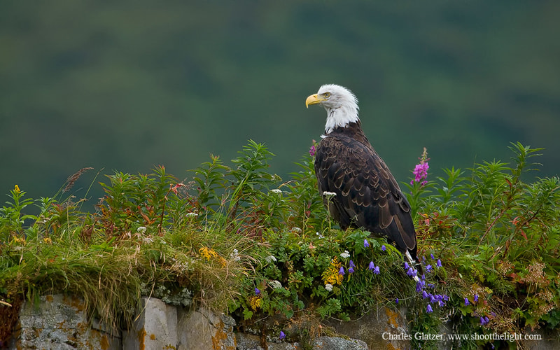 Photograph Bald eagle in wildflowers by Charles Glatzer on 500px