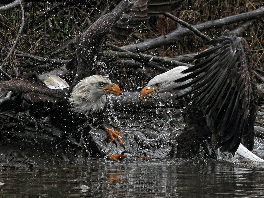 Photograph Eagles Fighting by Ray Morris on 500px