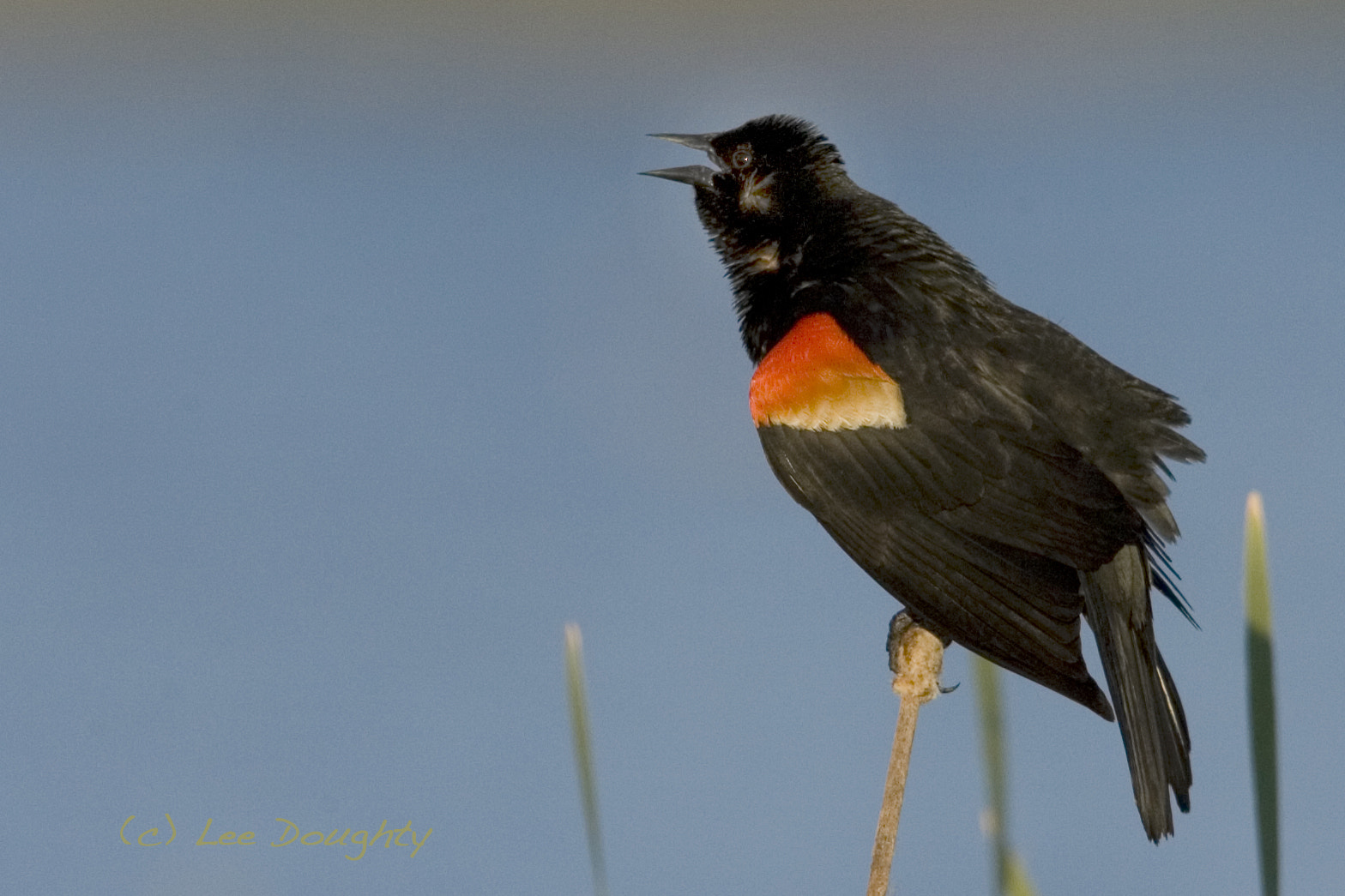 Photograph Red-winged Blackbird by Lee Doughty on 500px