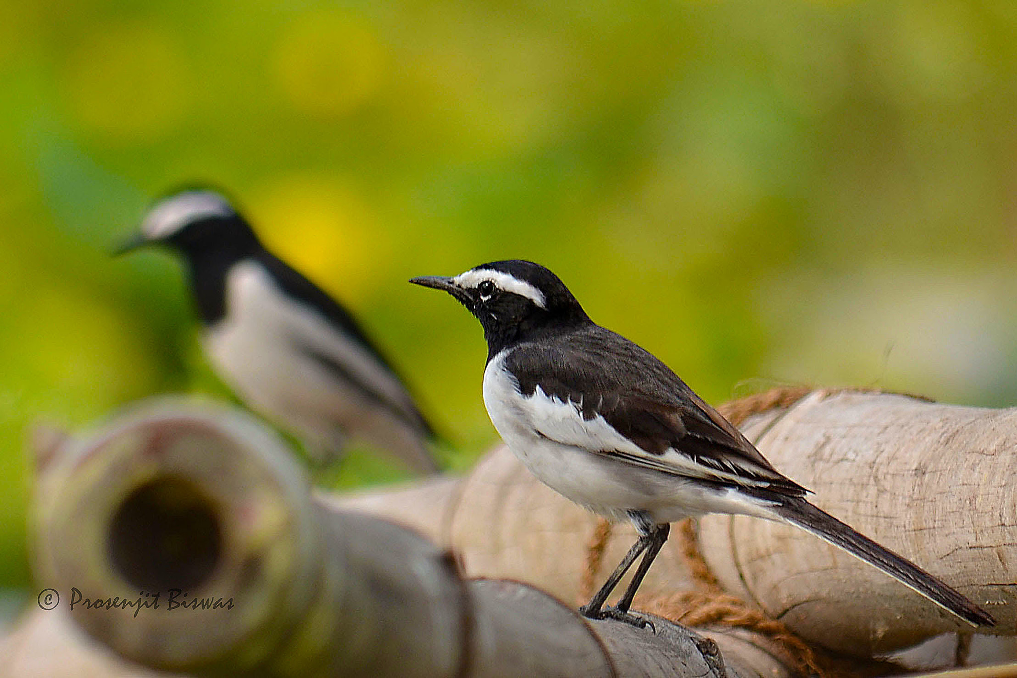 Photograph White browed wagtail by Prosenjit Biswas on 500px