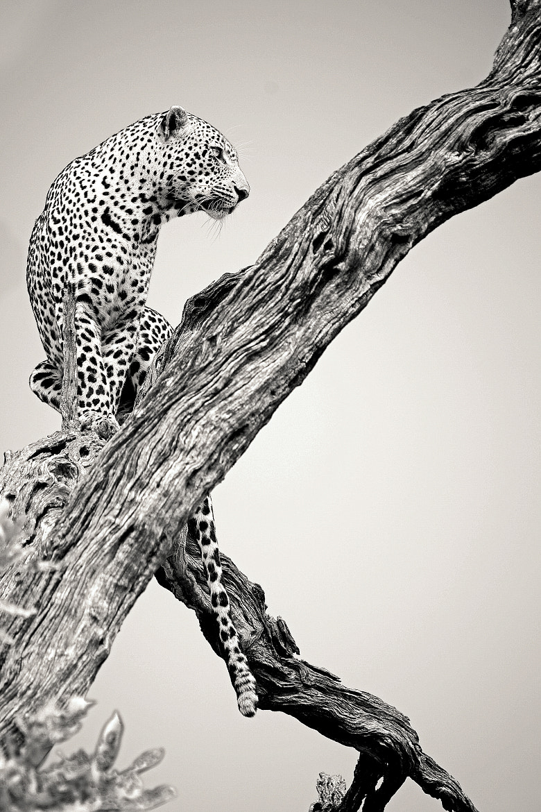 Photograph Lookout Leopard by Rudi Hulshof on 500px