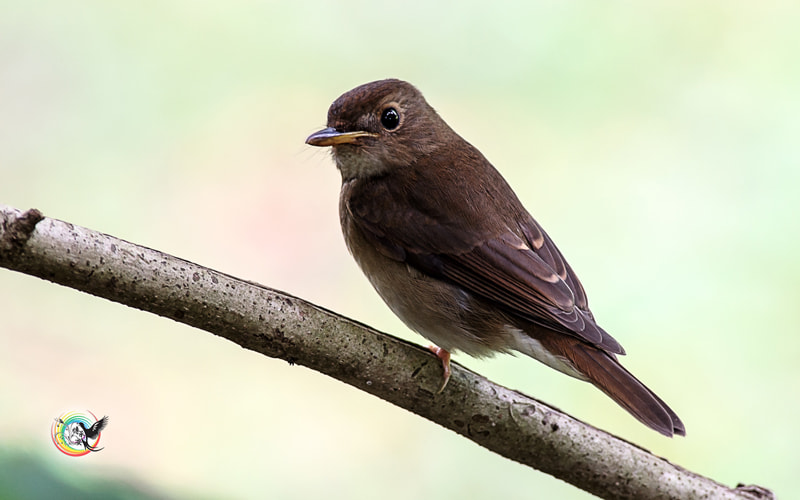Photograph Ferruginous-Flycatcher by Andy Fu on 500px