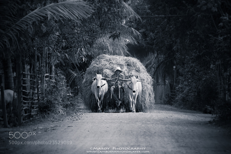 Photograph Khmer Cow Cart by Mardy Photography on 500px
