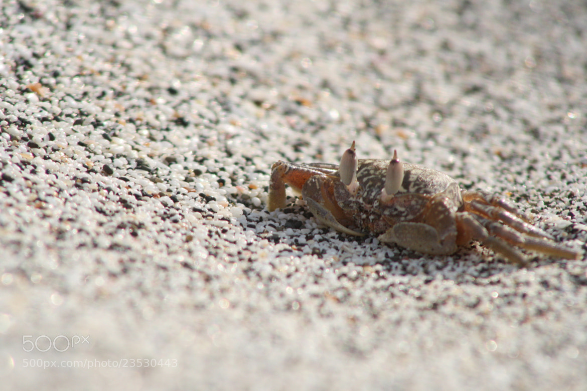 Photograph Crab by Patrick Sadler on 500px