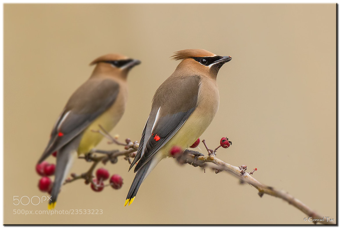 Photograph Double Trouble!  by Conrad Tan on 500px