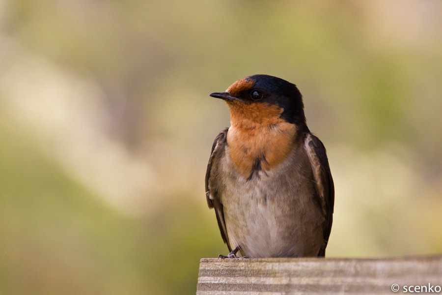 Photograph Welcome Swallow by © Scenko on 500px