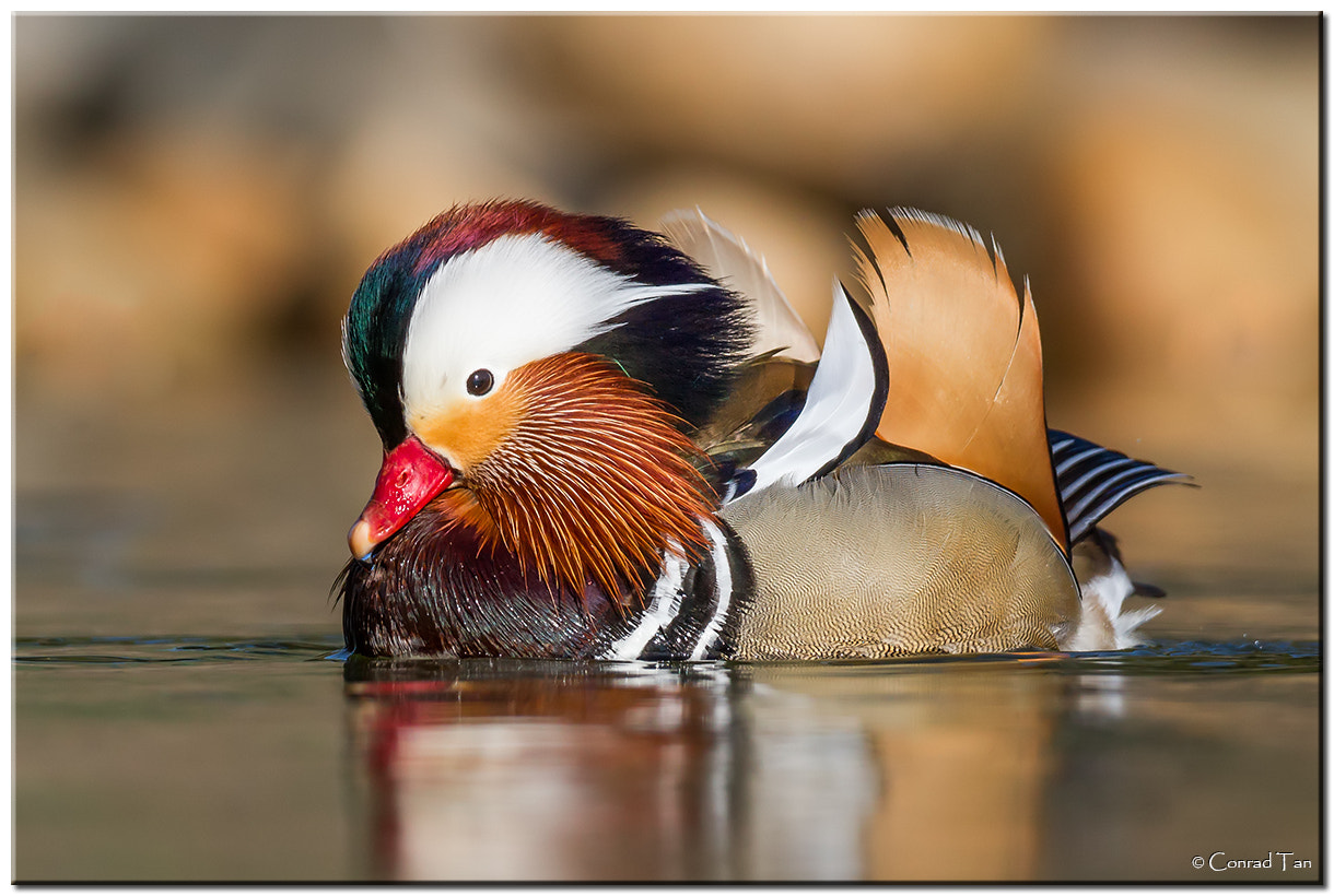 Photograph Mandarin Duck by Conrad Tan on 500px