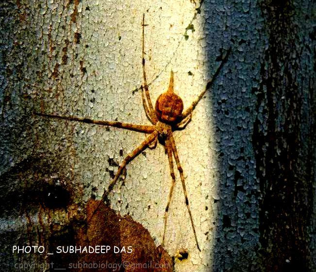 Photograph SPIDY(Hersilia sp) :) THE LOVELY AND SCARY ARTHROPOD  by SUBHA   on 500px