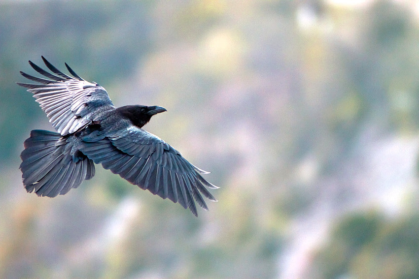 Photograph Raven by Philippe Lebeaux on 500px