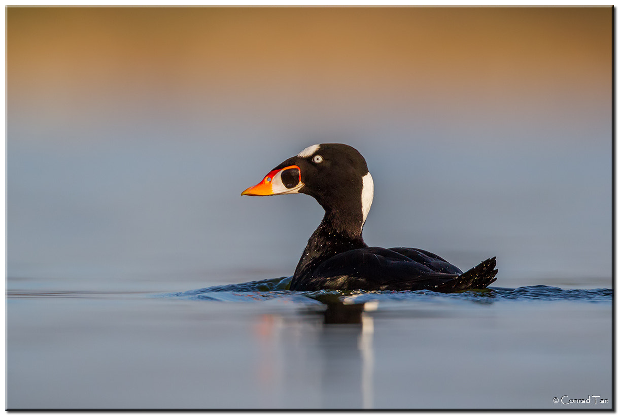 Photograph Surf Scoter by Conrad Tan on 500px