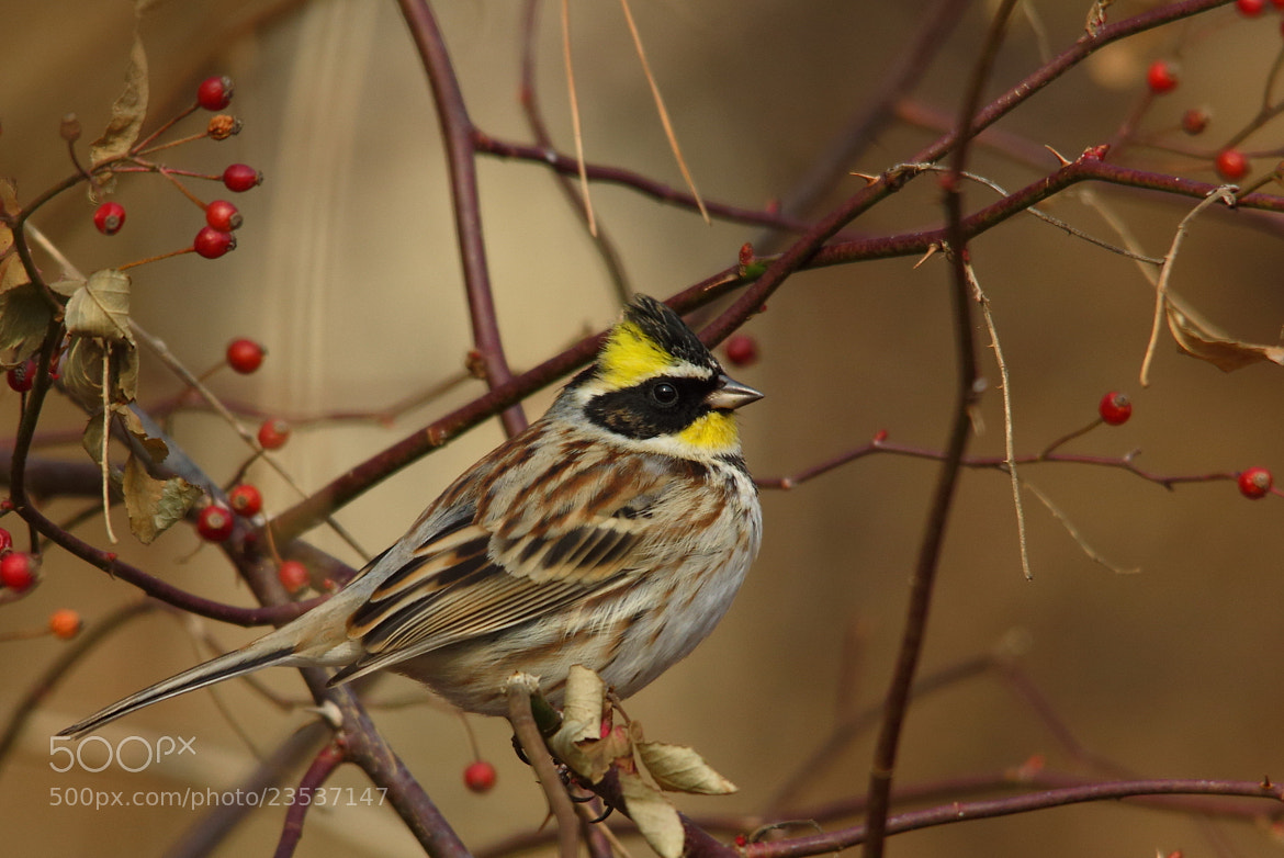 Photograph  yellow-throated bunting by Namgun Lee on 500px