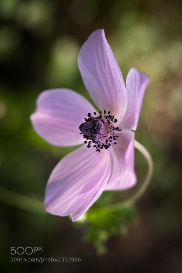 Photograph Anemone coronaria by Stavros Markopoulos on 500px