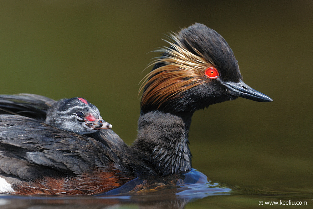 Photograph Black-necked Grebe by Kee Liu on 500px