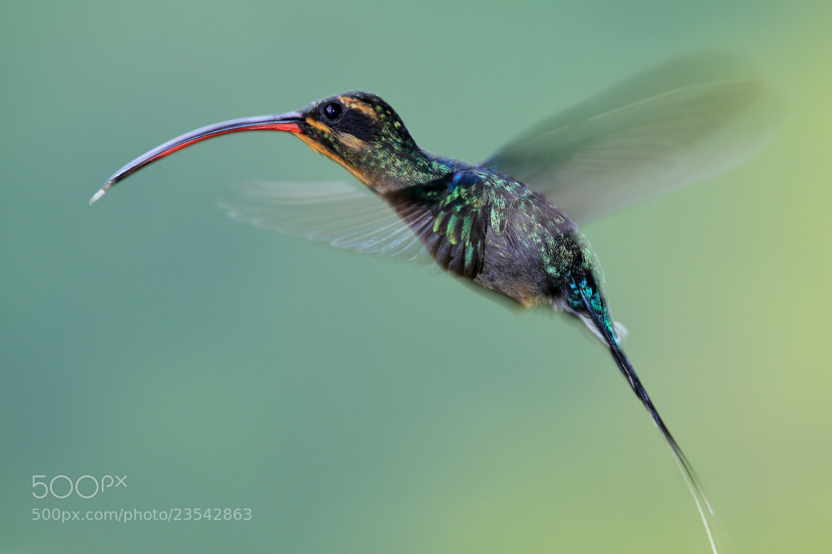 Photograph Hermit hover by Dewald Reiners on 500px