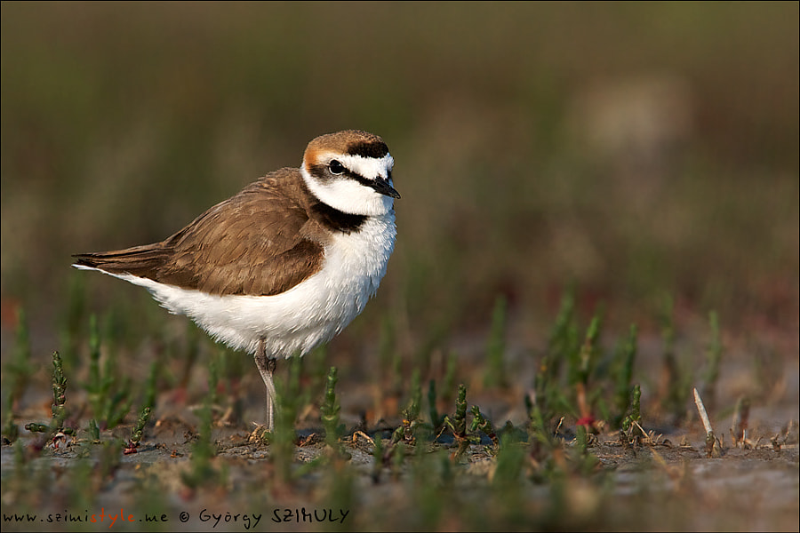 Kentish Plover (Charadrius alexandrinus) by Gyorgy Szimuly on 500px.com