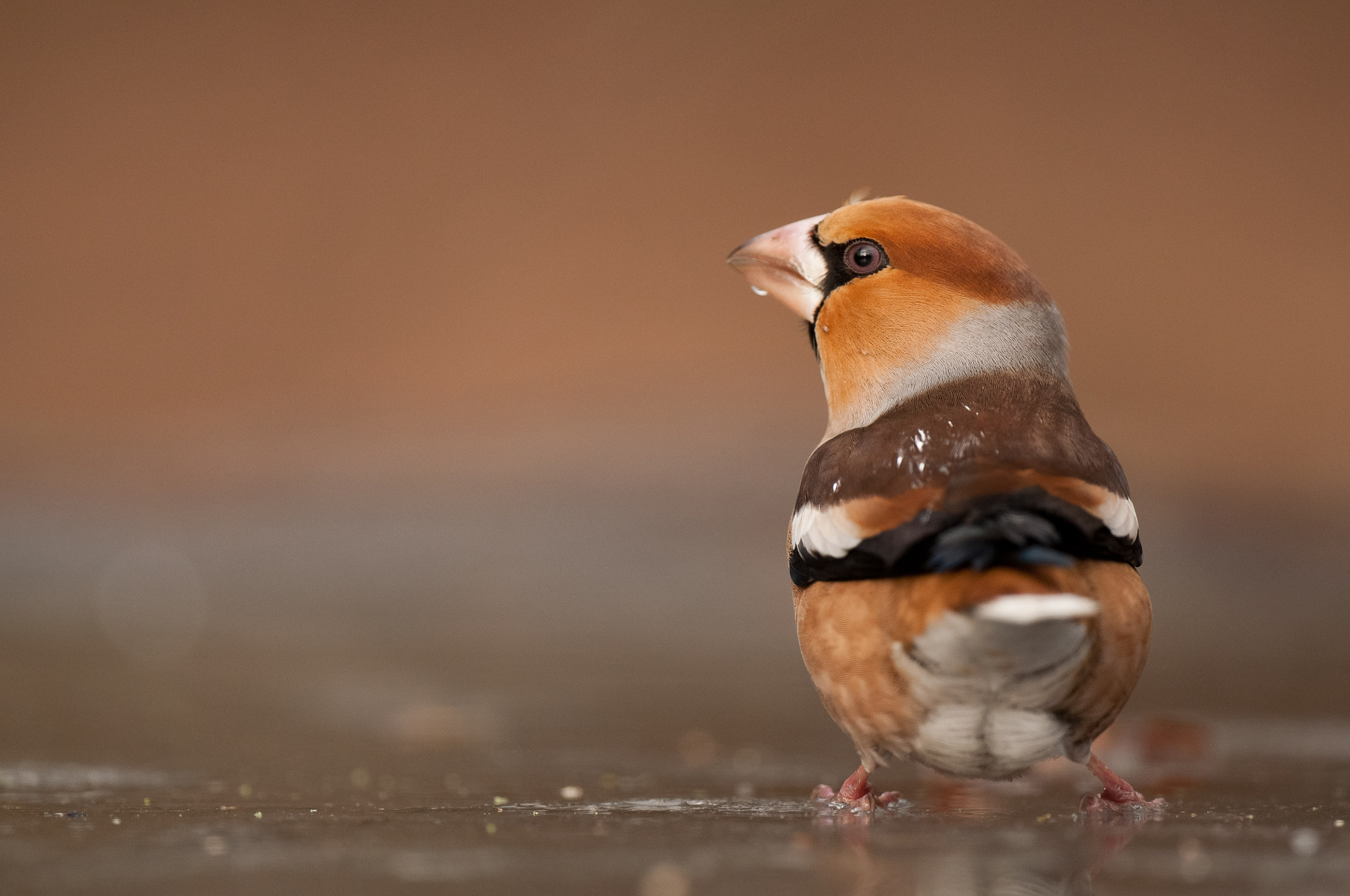Photograph Hawfinch on ice by Thijs  van den Burg on 500px