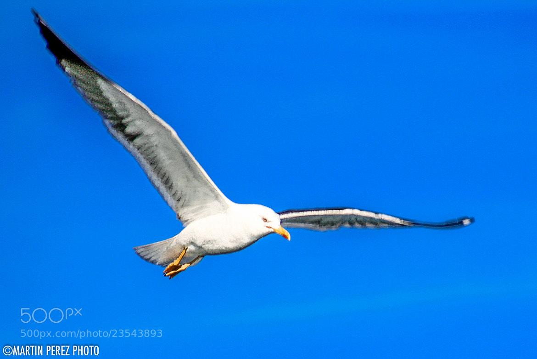 Photograph seagull by Martín Pérez on 500px