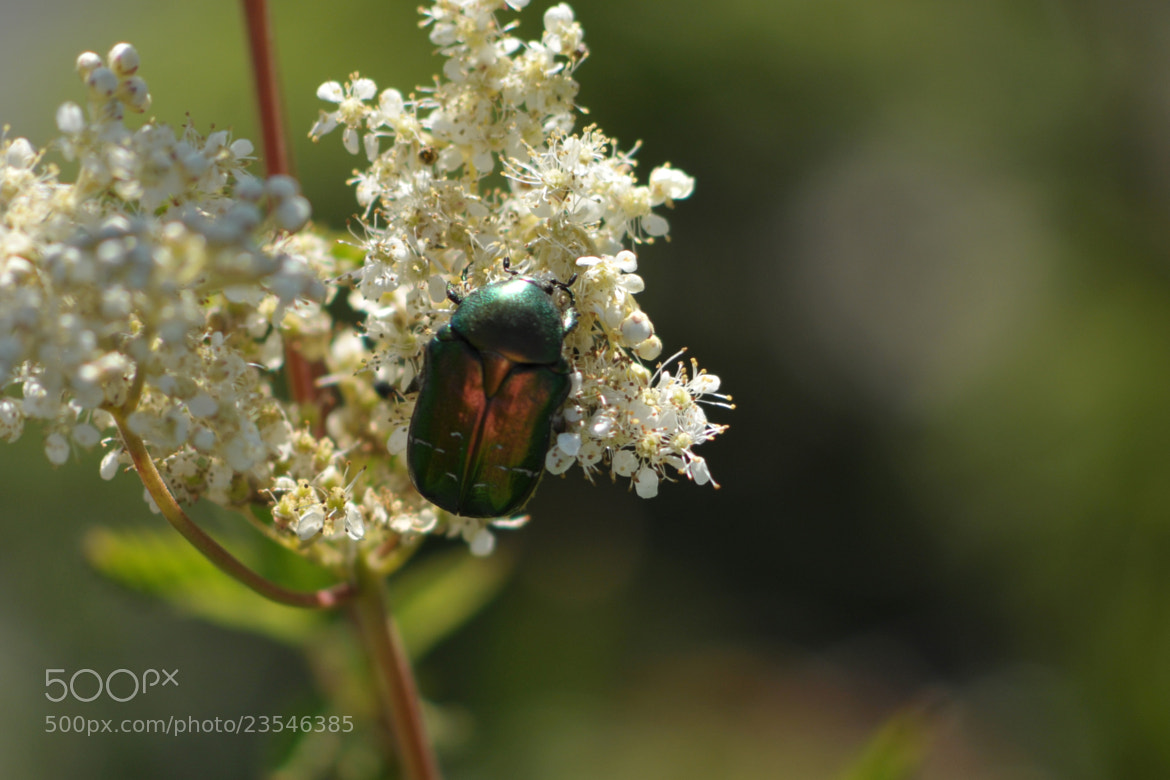 Photograph Beetle by Martin Sandvik on 500px