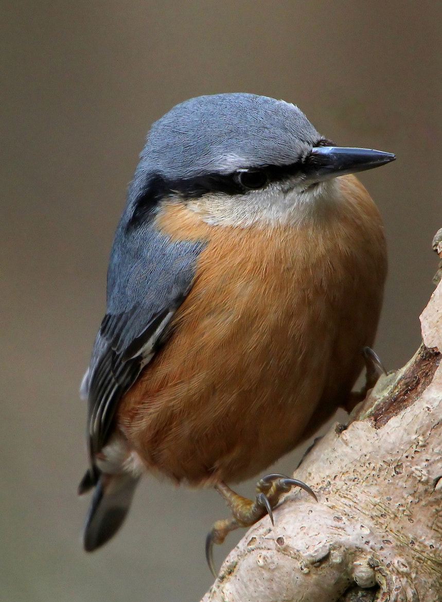 Photograph Nuthatch by Ger Bosma on 500px