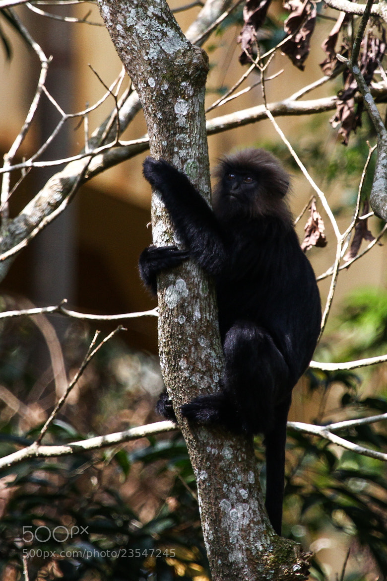 Photograph Nilgiri Langur (Trachypithecus johnii) by Ravi Meghani on 500px