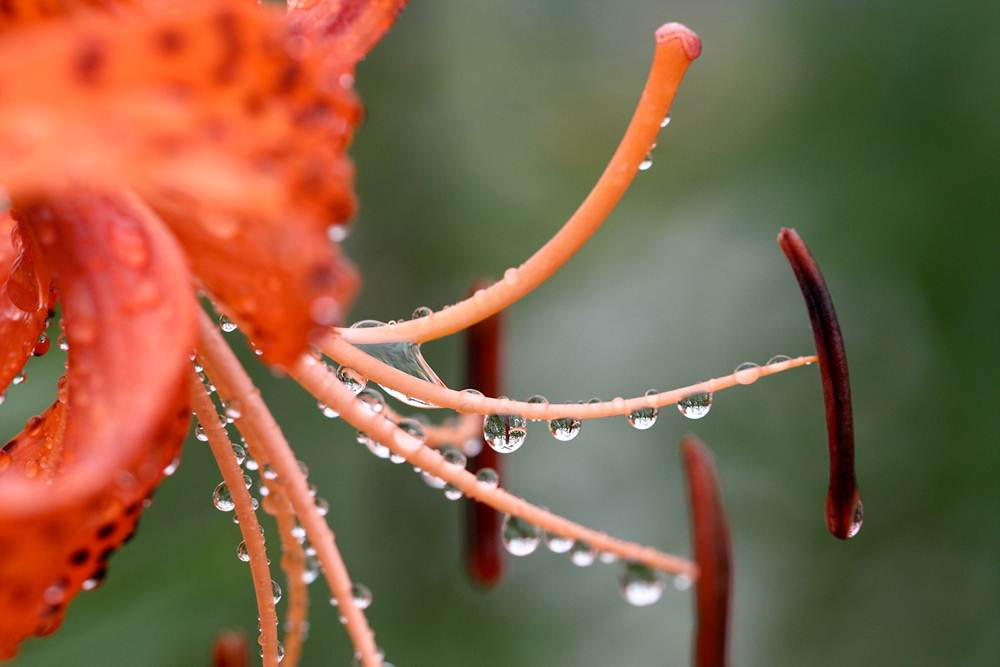 Photograph Tears of lily by LEE INHWAN on 500px