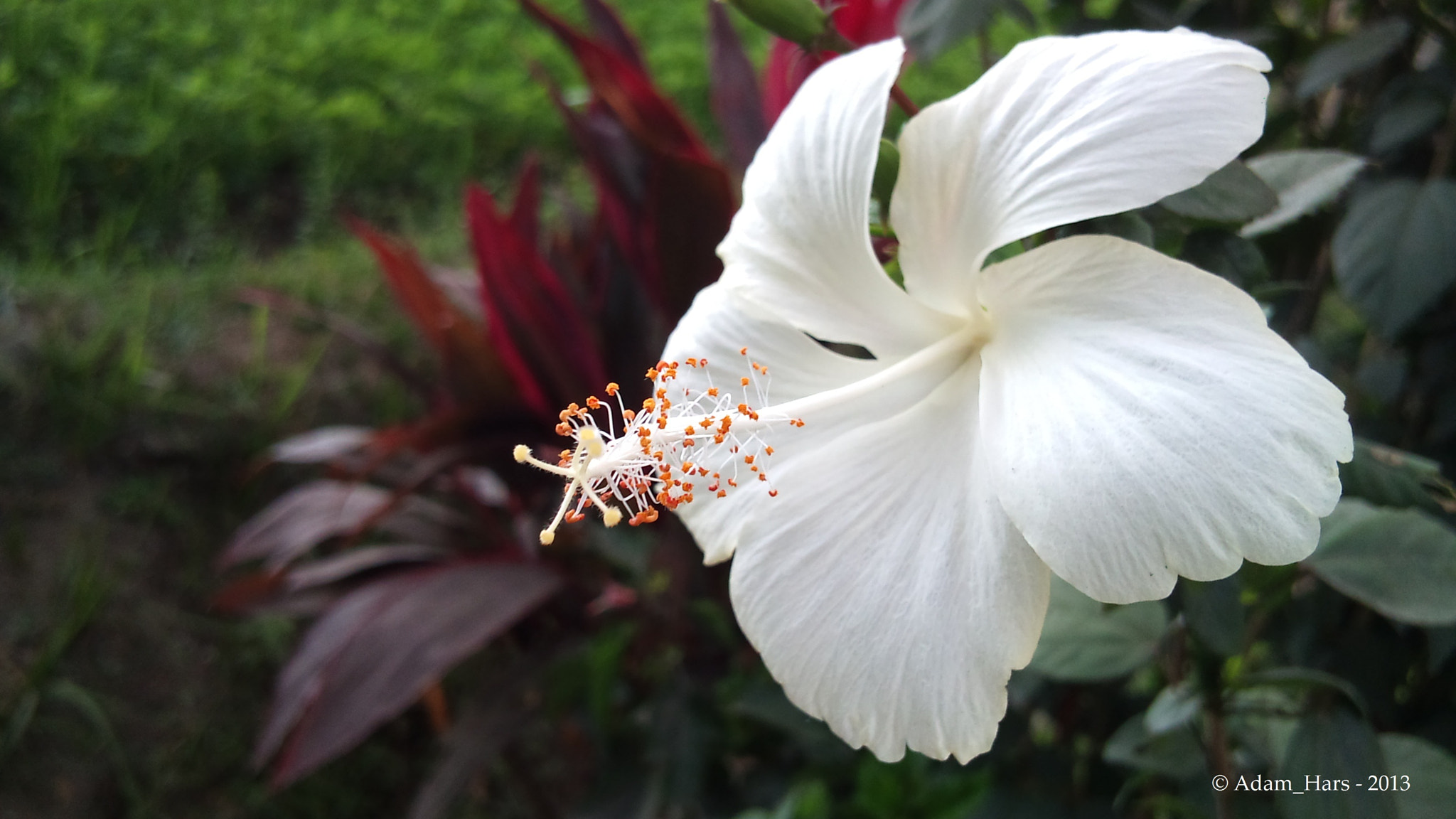 Photograph The White Hibiscus by Adam Hars on 500px
