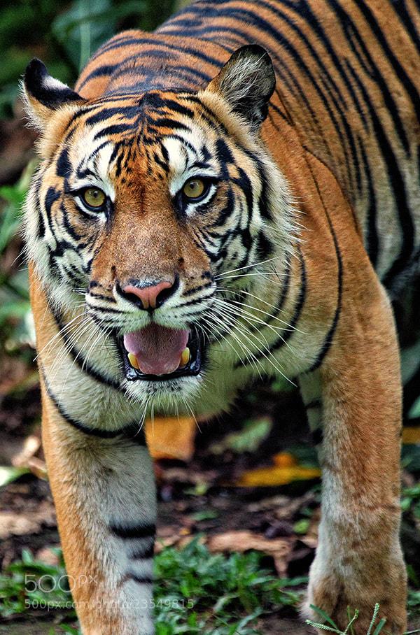 Photograph Tiger eye by Prabu dennaga on 500px