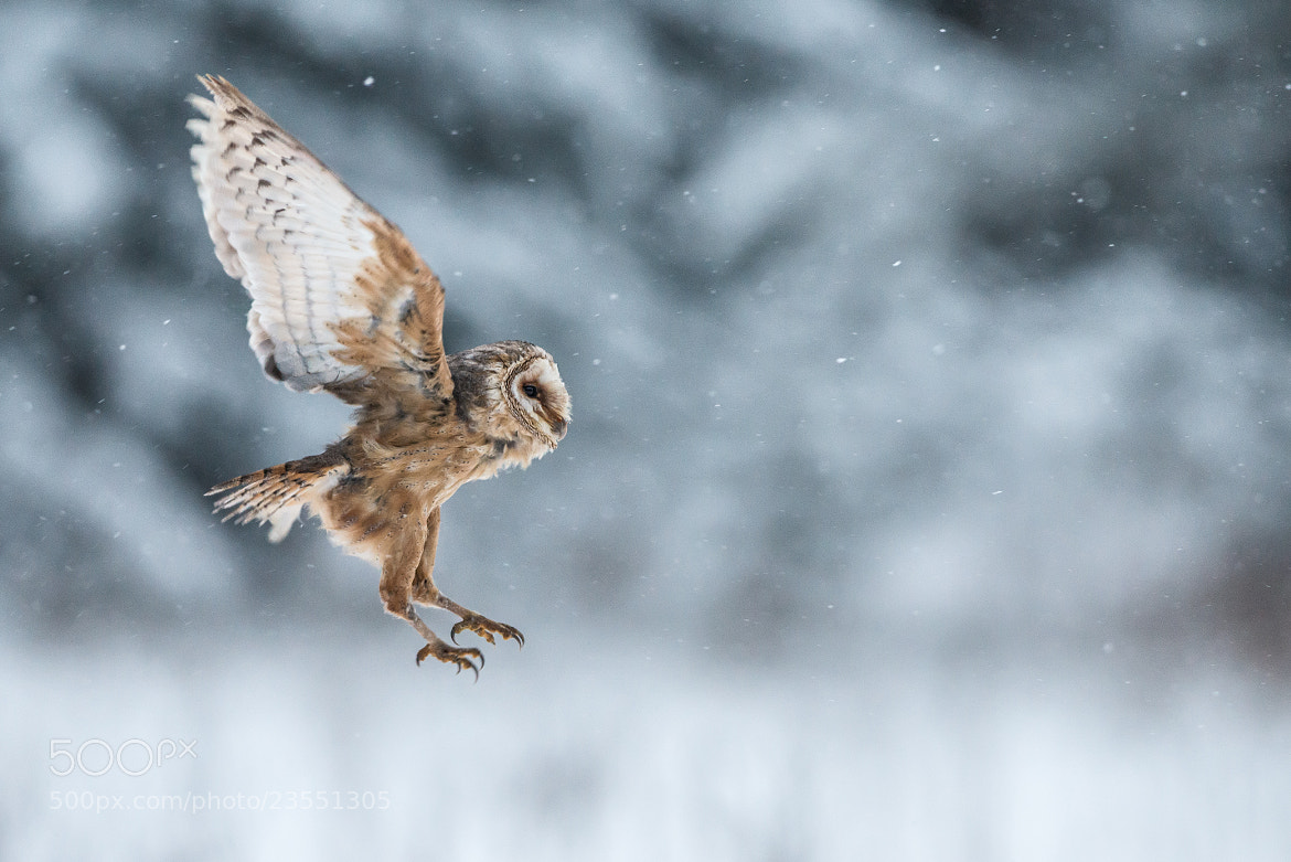 Photograph Barn Owl in flight by Susanna Chan on 500px