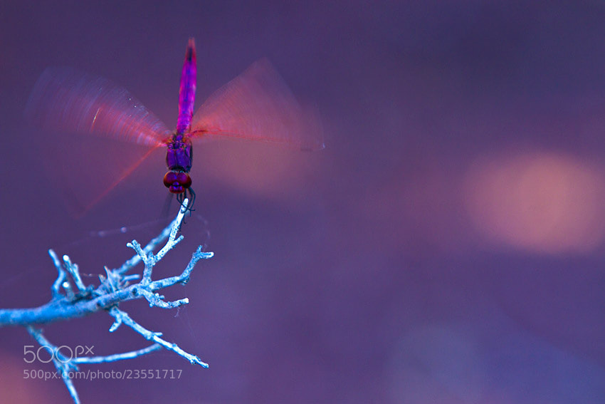 Photograph Purple dragonfly by Philippe Lebeaux on 500px