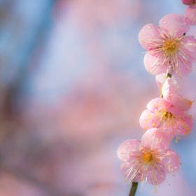 The flower of a plum by Sasaki Tomohiro (eyewearadviser)) on 500px.com