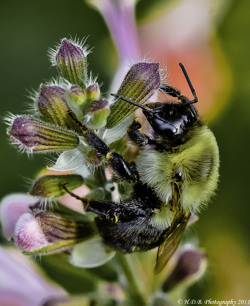 Photograph Bumble by Harold Begun on 500px