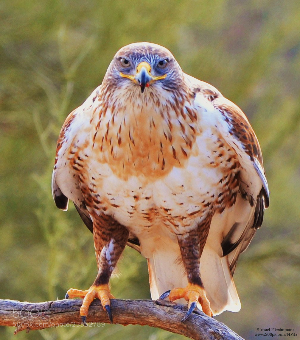 Photograph World's Smuggest Hawk by Michael Fitzsimmons on 500px