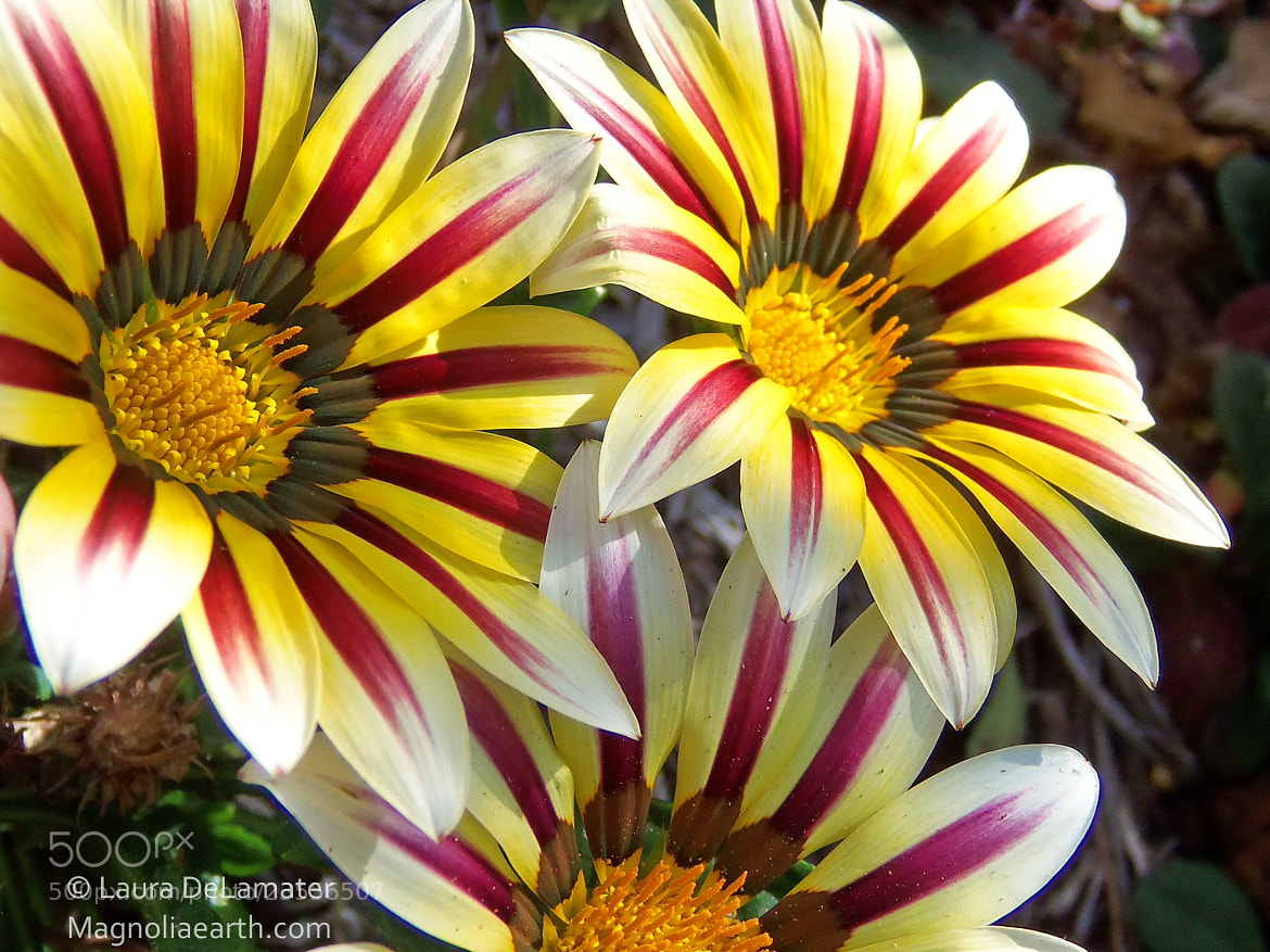 Photograph Gazania trio! by Laura DeLamater on 500px