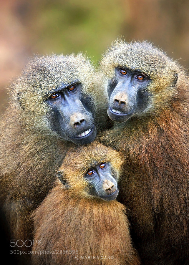 Photograph Baboon Family by Marina Cano on 500px