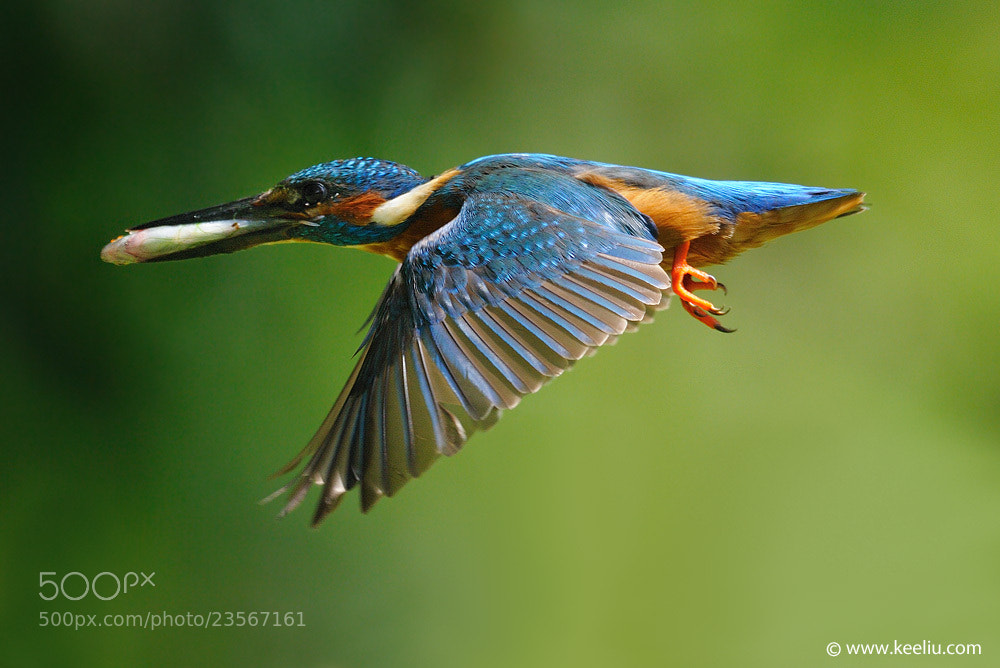 Photograph Kingfisher in flight by Kee Liu on 500px