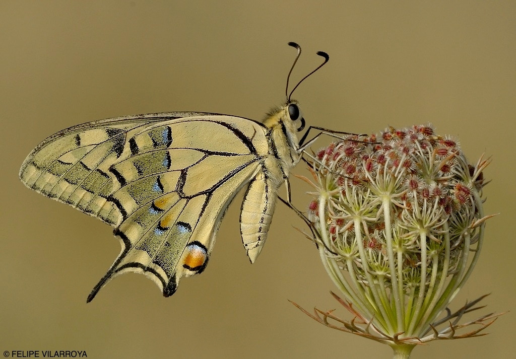 Photograph Papilio machaon by Felipe  vilarroya on 500px