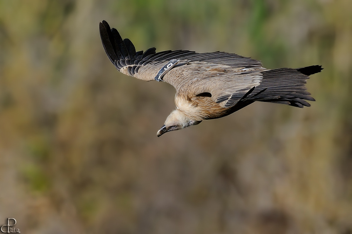 Photograph Griffon Vulture by Pablo Rudaeff on 500px