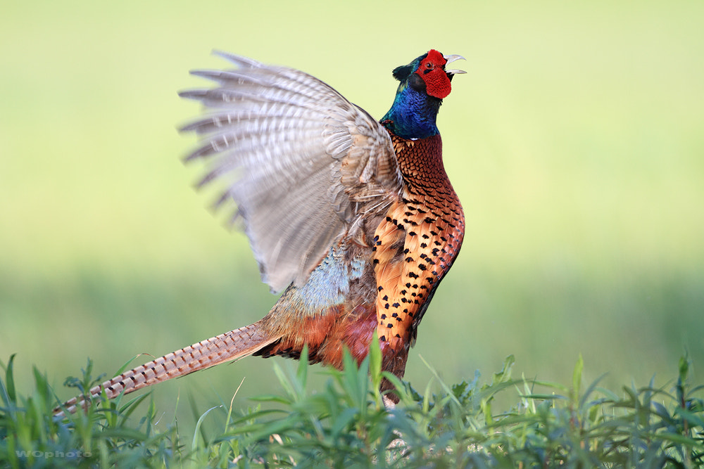 Photograph Ring necked pheasant by Walter Oberhofer on 500px