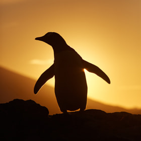 Penguin with Sunset by Markus Eichenberger on 500px.com
