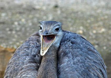 Nandu - Rhea americana - Greater rhea