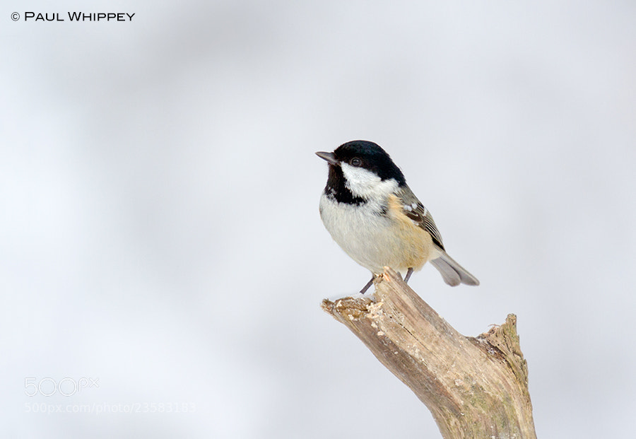 Photograph Coal tit in the snow by Paul Whippey on 500px