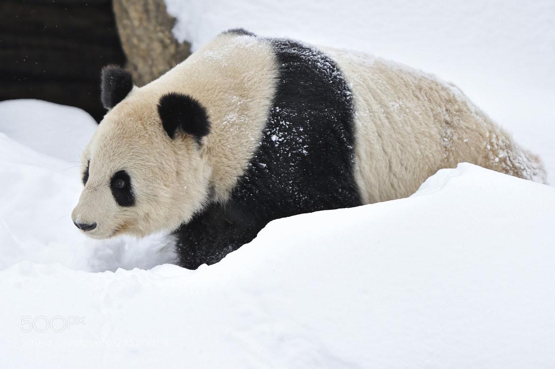 Photograph Panda Snow Walk by Josef Gelernter on 500px