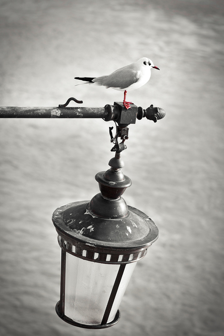 Photograph Seagull watching down to the river by L. G. - luigig75 on 500px