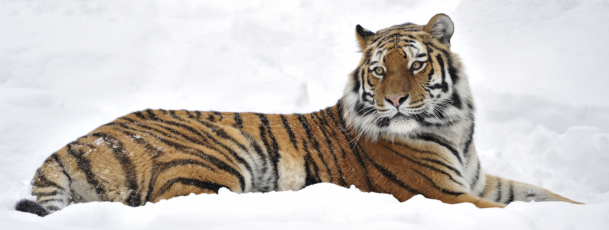 Photograph Tigress Snow Panorama by Josef Gelernter on 500px