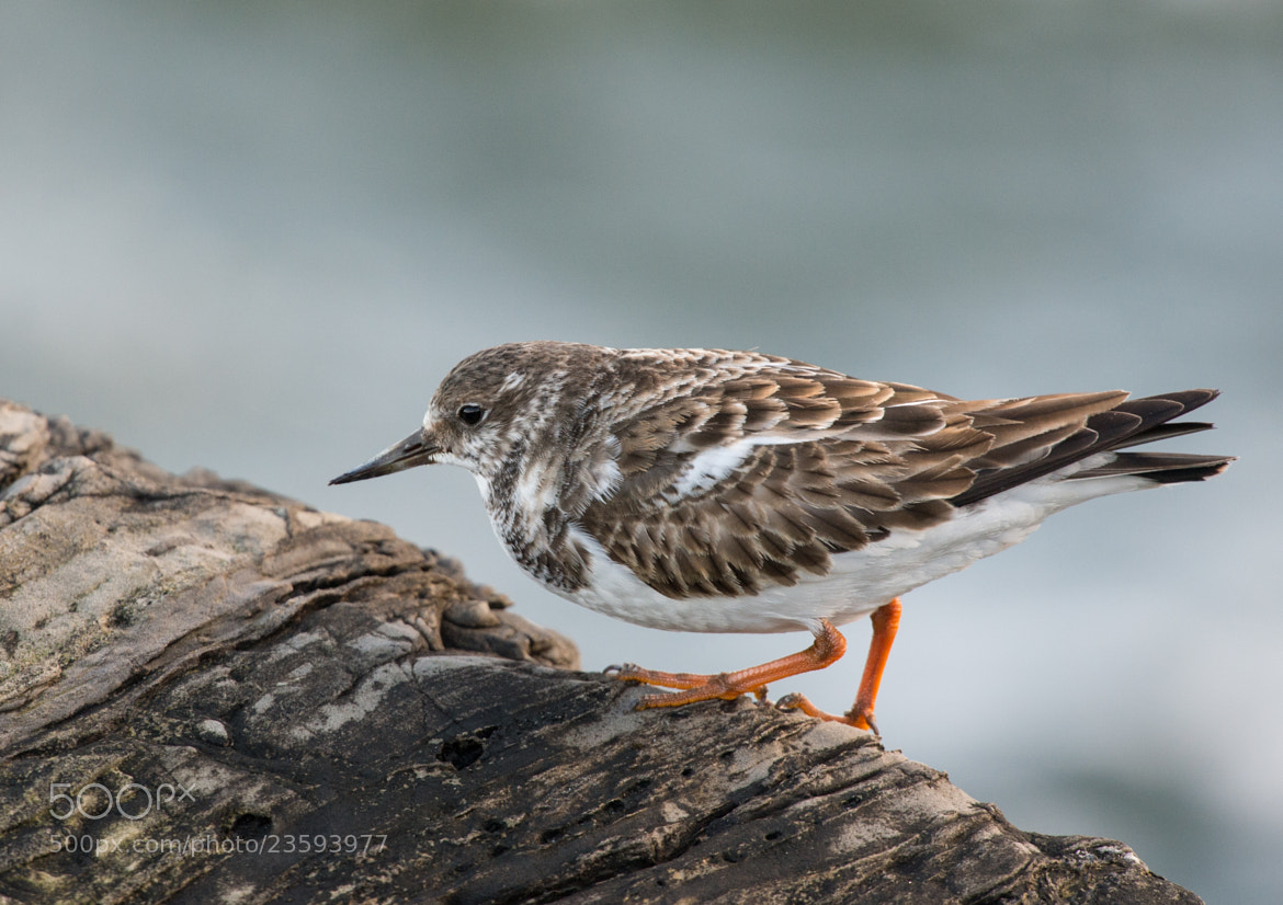 Photograph Ruddy Turnstone by Art Peslak on 500px