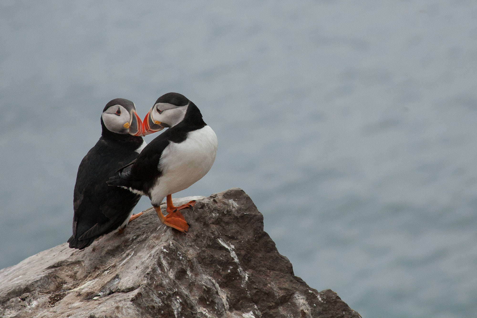 Photograph Puffins on Grimsey Island  by Maarten  on 500px