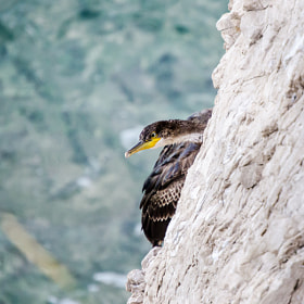 Cormoran by Jure Bajt (jurebajt)) on 500px.com