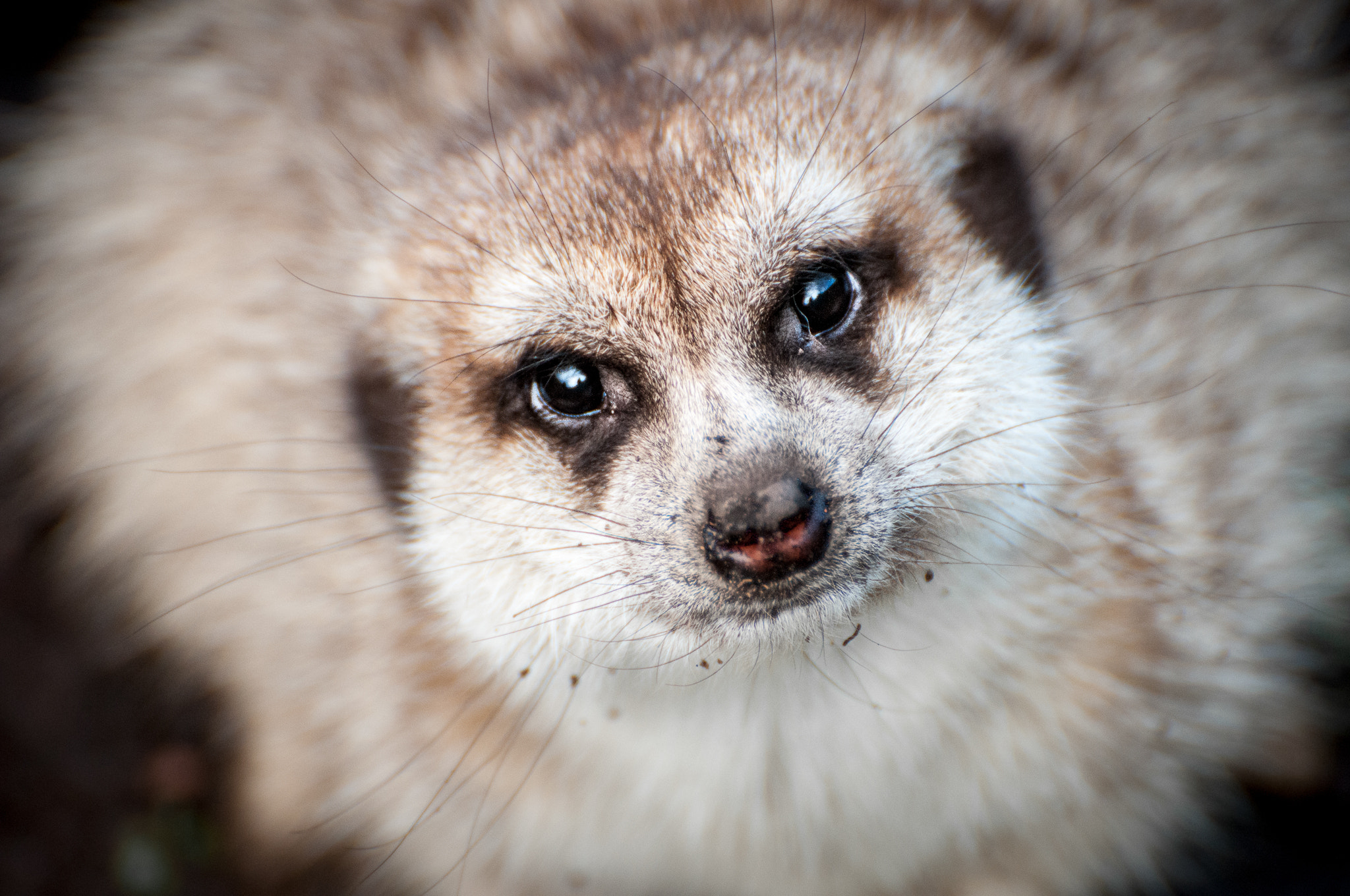 Photograph Meerkat by Cameron Zohoori on 500px