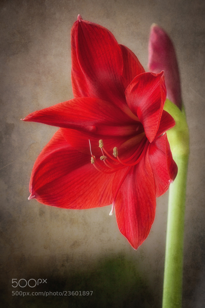 Photograph Amaryllis in Red by Maria Luciana Robinson on 500px