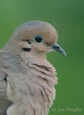 Photograph Mourning Dove by Lee Doughty on 500px